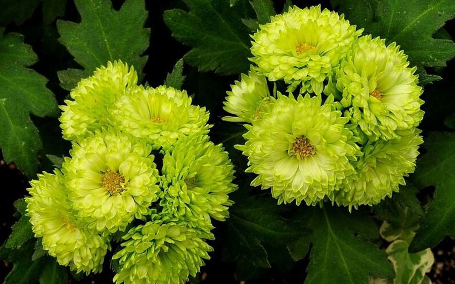 Chrysanthemum Green Flowers Chrysanthemum Flowers