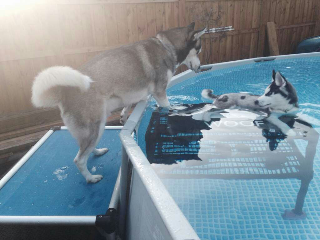 Pool Dog | Dog pool, Dog pool ramp, Pool steps