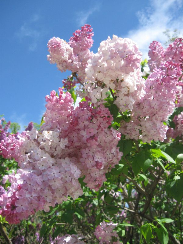 Pink Lilac Flowers Lilac Flowers Beautiful Flowers Lilac