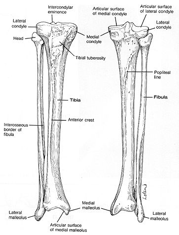 Anterior and posterior views of the lower leg, tibia and fibular ...
