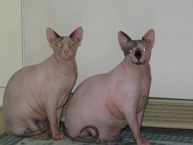 Sphynx Cats... Beau And Jagger They Have Bad Owners To Let