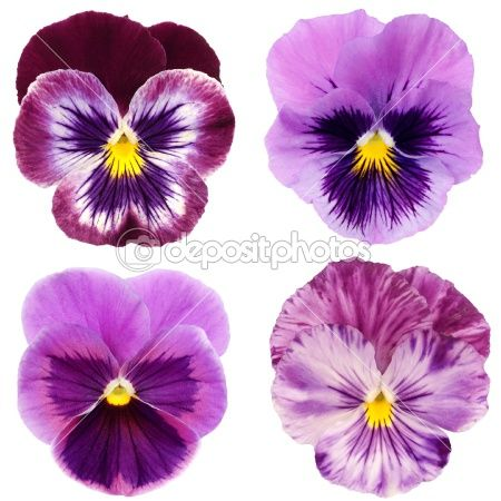 Set Of Purple Pansy On White Background Pansies Flowers Flower Painting Watercolor Flowers
