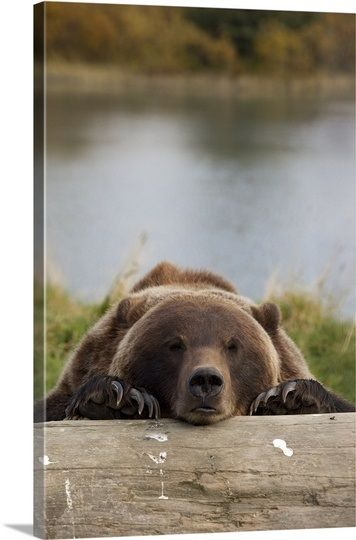 Grizzly Bear Rests Its Head On A Log At The Wildlife Conservation Center Alaska In 2021 Alaska Wildlife Wildlife Conservation Grizzly Bear