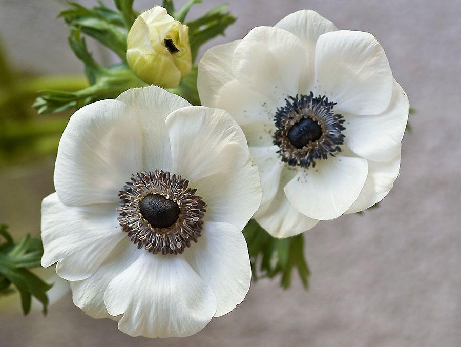 Anemones 3 White Anemone Flower Anemone Flower White Anemone