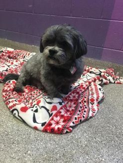 Pin On Shih Tzus Up For Adoption