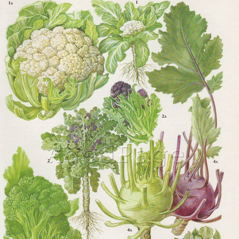 vintage vegetable illustrations - Google Search | Art ...