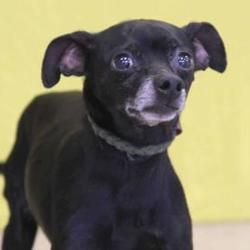 Pin By Margaret Buhn On Rescue Doggies Chihuahua Pet Adoption Dogs