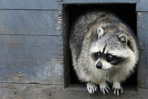 Raccoon Emerging From The Shed I Hope It S Not The Http Animalfunnymemes Com Raccoon Emerging From The Sh Animal Tracks Animals Cute Animals