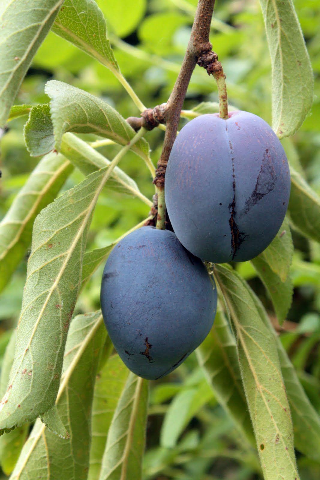 2015 08 decorating with plum and damson - Damson Plum Prunus Institia Has A Small Roundish Blue Black Fruit With