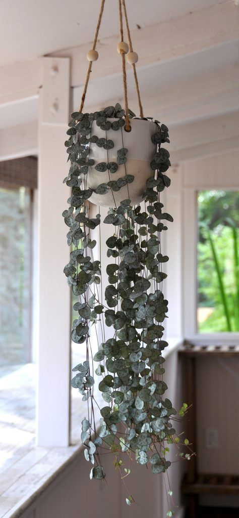 """How to Propagate a String of Hearts is part of Hanging plants indoor, Hanging plants diy, Hanging plants, House plants, Plants, Plant decor - This project falls into the category of """"let's just try it and see""""  Most of my propagation efforts involve a modicum of effort and some """"why not"""", and in most cases, that's good enough  So I'm only encouraging myself at this point  Anyhow, on to the good stuff… We have a beautiful String of Hearts […]"""