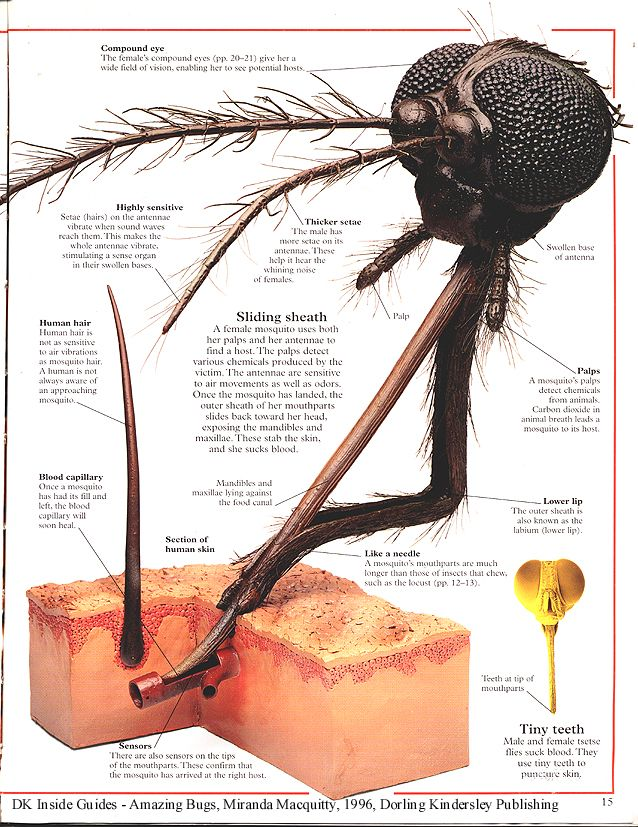 Up close picture showing the different parts of a mosquito head and how the mosquitoes draw blood from the host. Interesting, but gross! #mosquitoes #gross