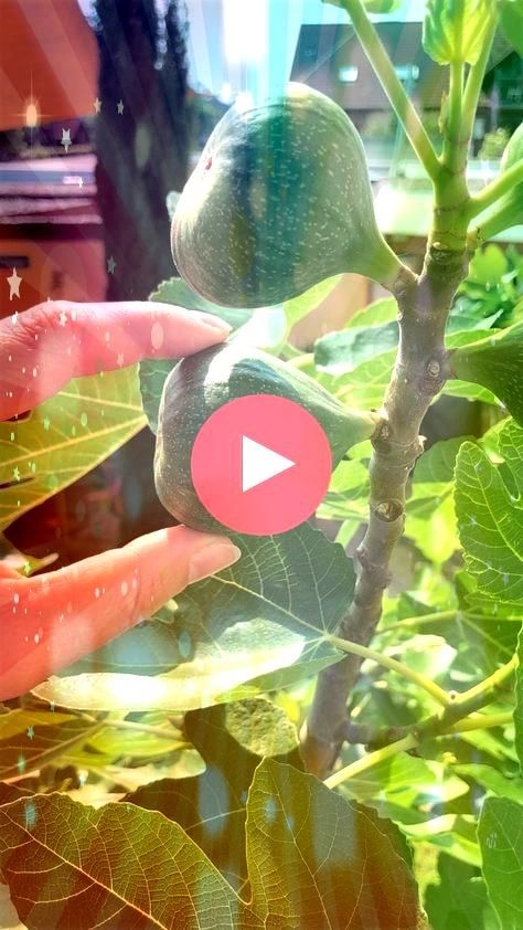 fig trees and multiply  thats how it works  Pull fig trees and multiply  thats how it works Pull fig trees and multiply  thats how it works Chicago Hardy Fig Tree  FastGr...
