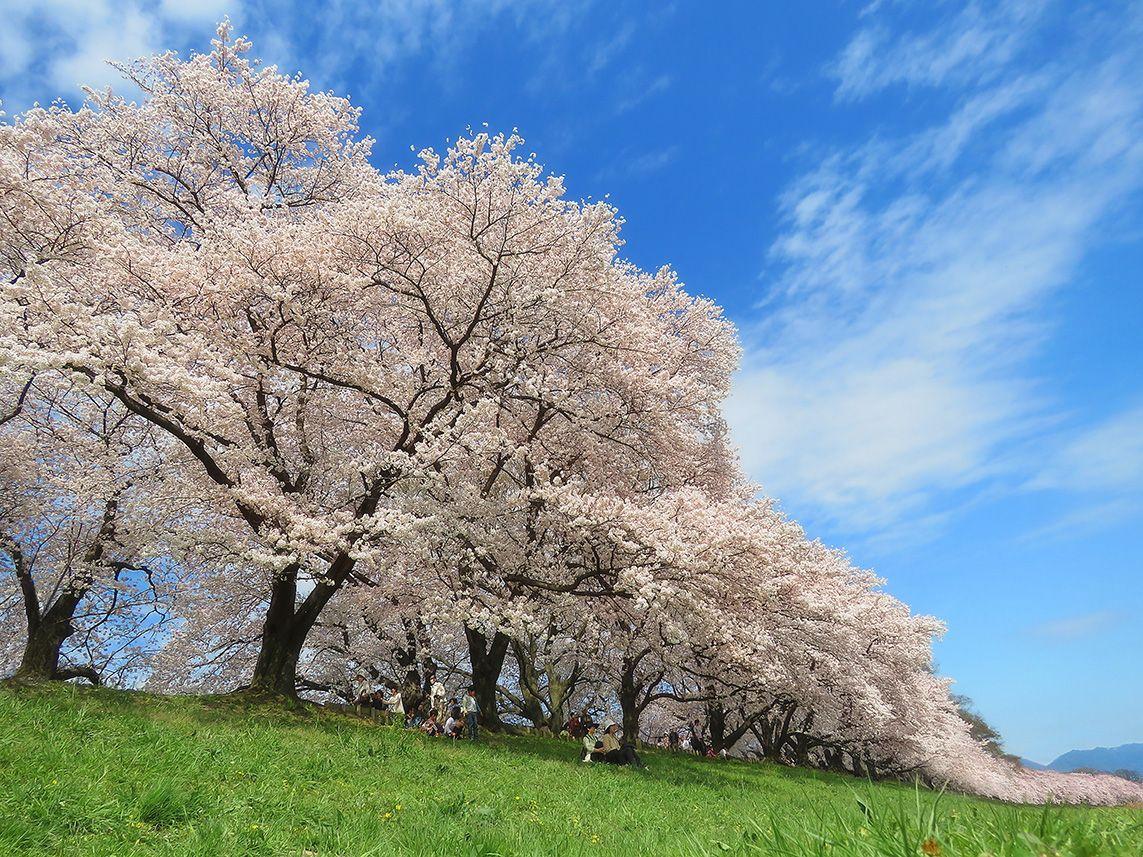 Cherry Blossoms Cherry Blossom Cherry Blossom Japan Dogwood Trees