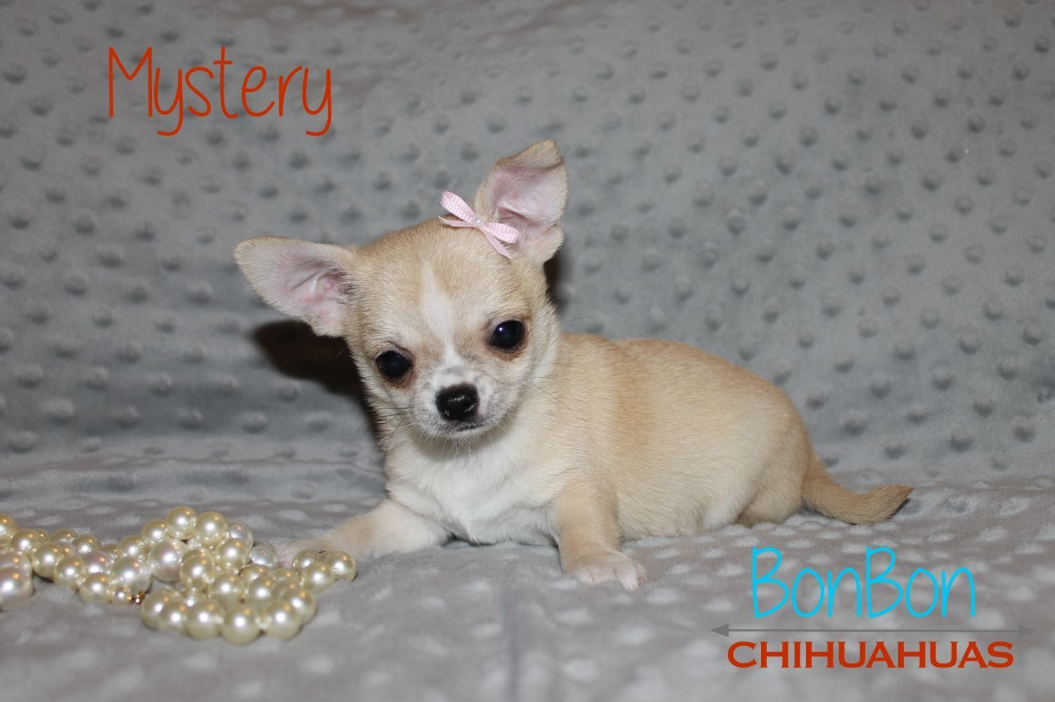 Potty Training Chihuahua Consistency Is Key Chihuahua Puppies