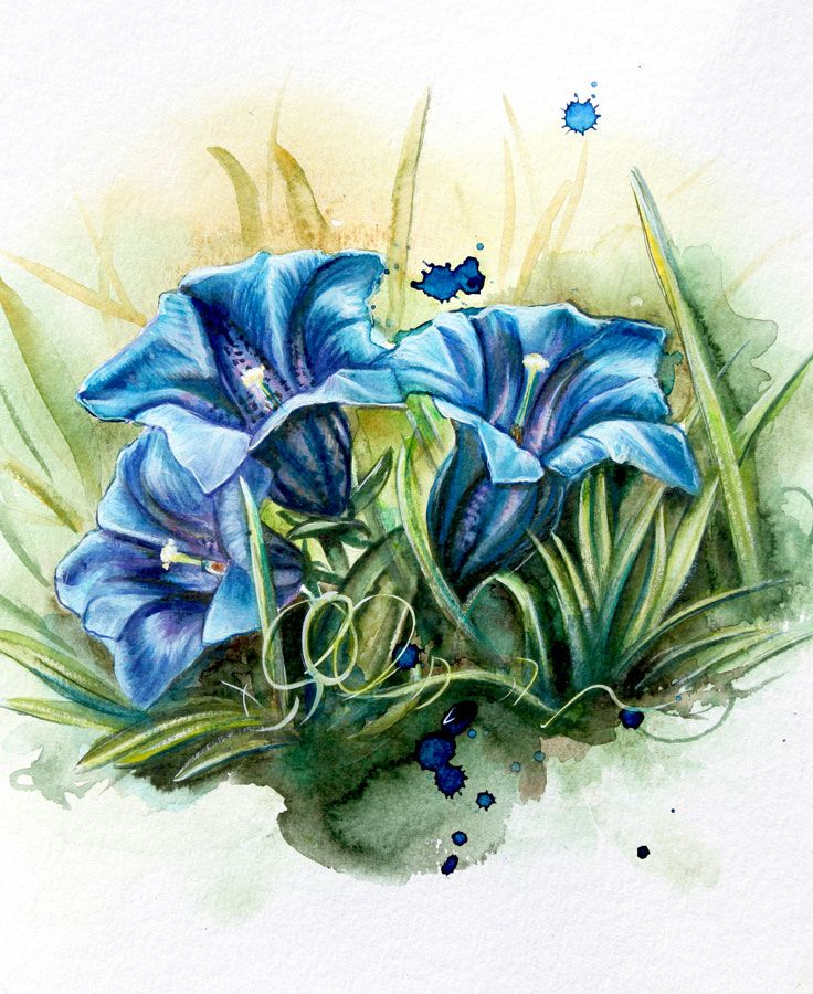 malvorlage enzian pflanze  coloring and malvorlagan