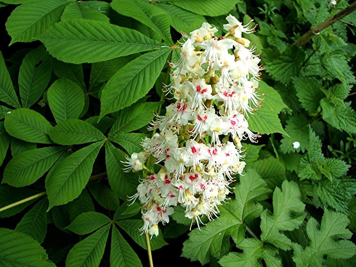 Aesculus Hippocastanum Sapindaceae Mm Tok Sori Pinterest