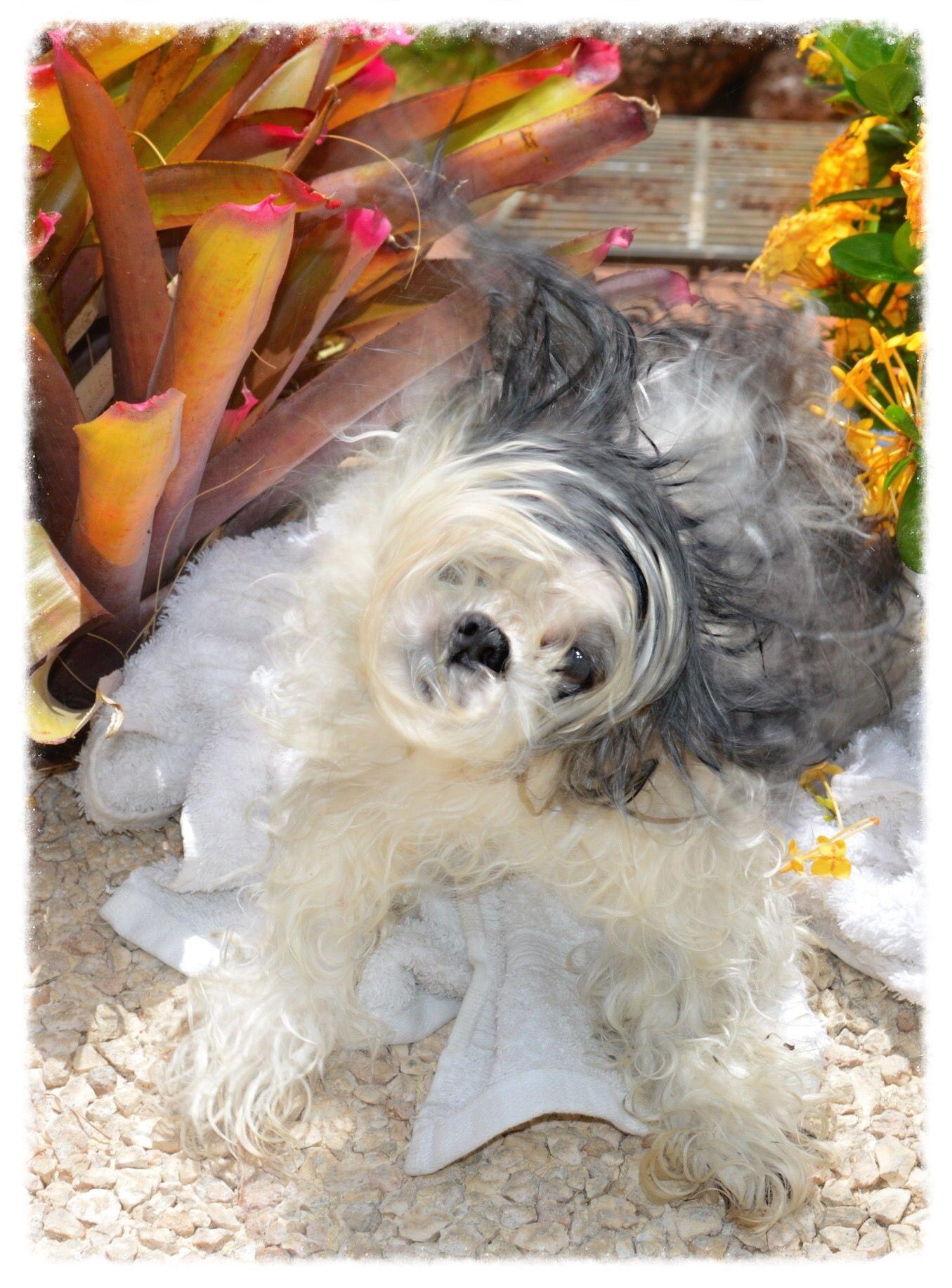 June 29 2015 Motita Shaking Her Head After A Bath Pet Loss