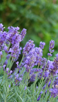 Delicious Lavender Lavender Plant Edible Lavender Lavender Types