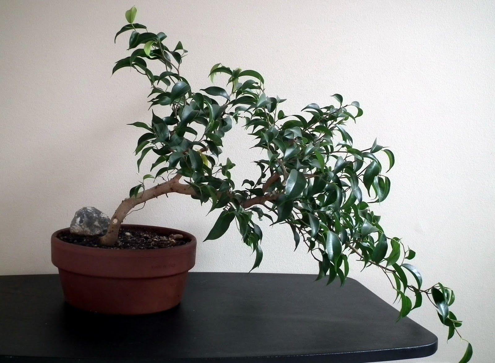 Bonsai Tree Ficus Ginseng Bonsai With Ginseng Ficus Bonsai Tree Ficus Ginseng Bonsai Ficus Bonsai Tree Ficus