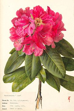 Painting of Rhododendron Anne