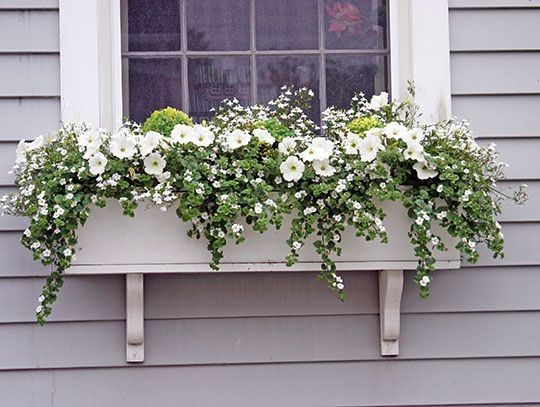 White petunias, Sutera and Lobelia are almost covering the three dwarf boxwood plants that were in the box all winter  by maureen is part of Window box flowers -