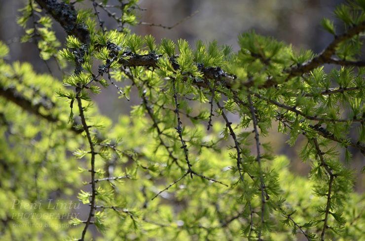 Kaunis lehtikuusi keväällä