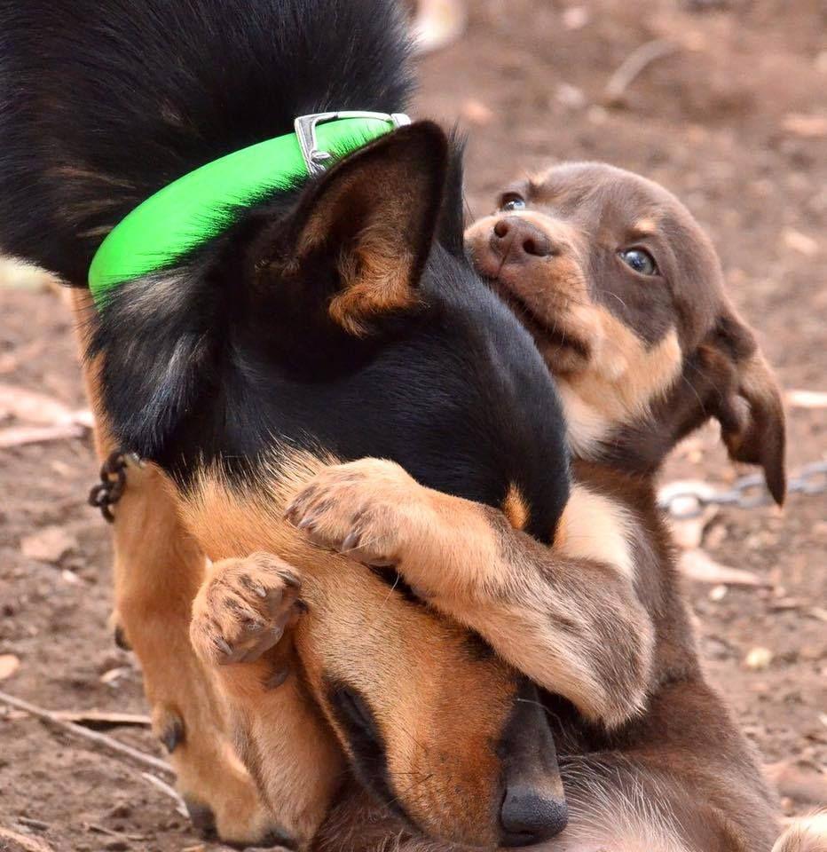 By Nan Lloyd Australian Kelpie Australian Dog Breeds Australian Kelpie Dog Aussie Dogs