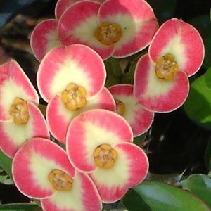 Crown of Thorns 'Good Fortune' (Euphorbia milii hybrid)