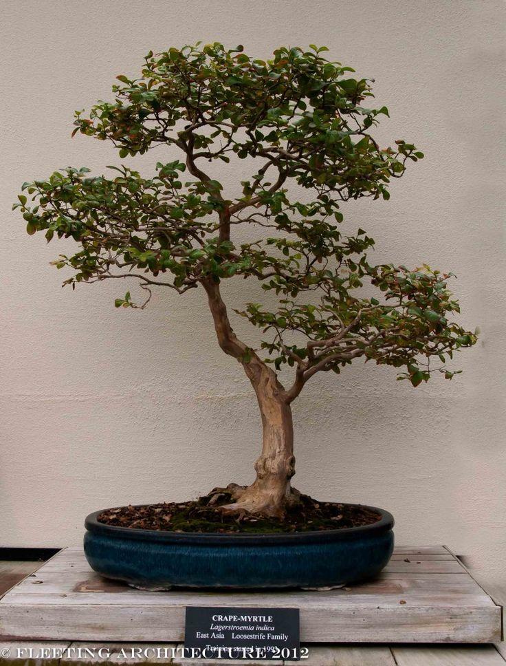 Image Result For Crepe Myrtle Bonsai Bonsai Cultiver Jardins