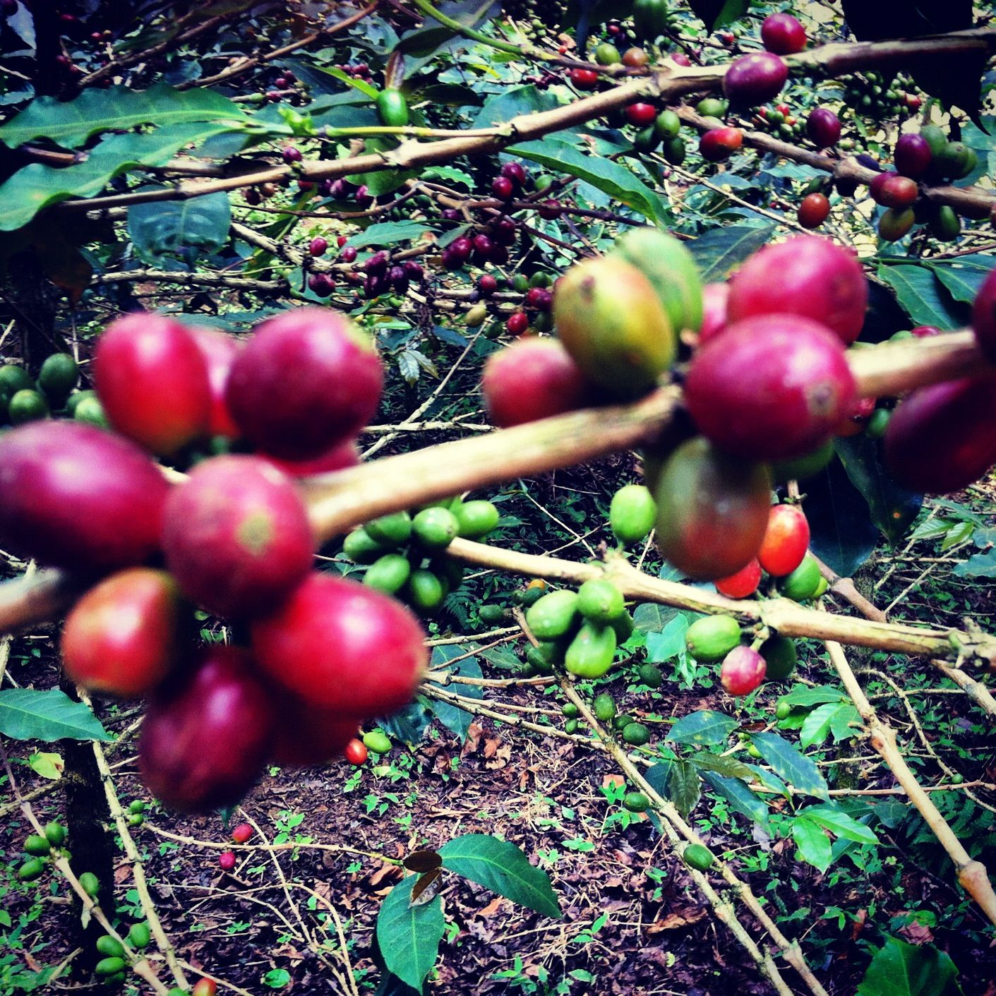 Pin on from the rainforest coffee plantation in indonesia