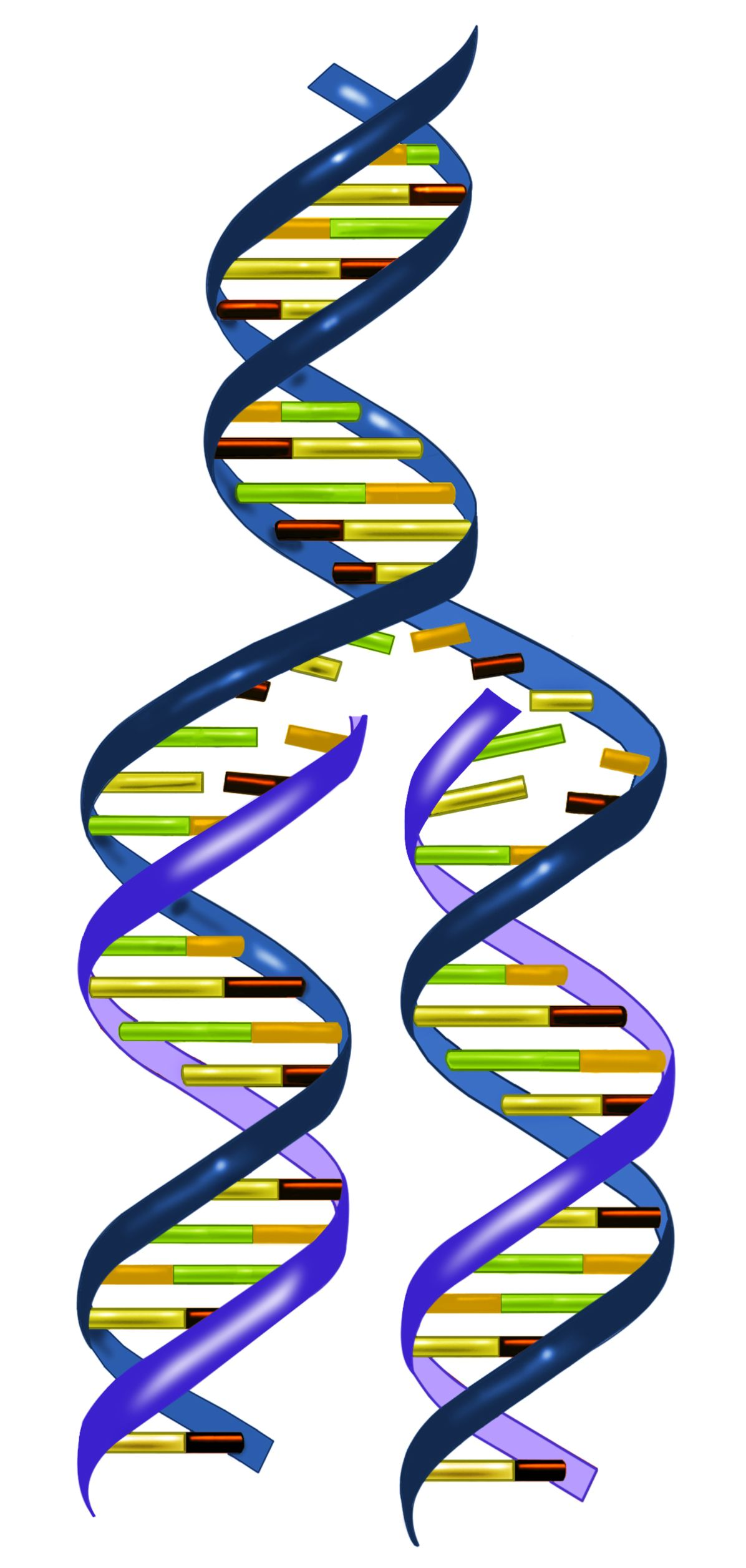 Basic Rules Of Dna Replication Dna Replication Dna Facts Dna