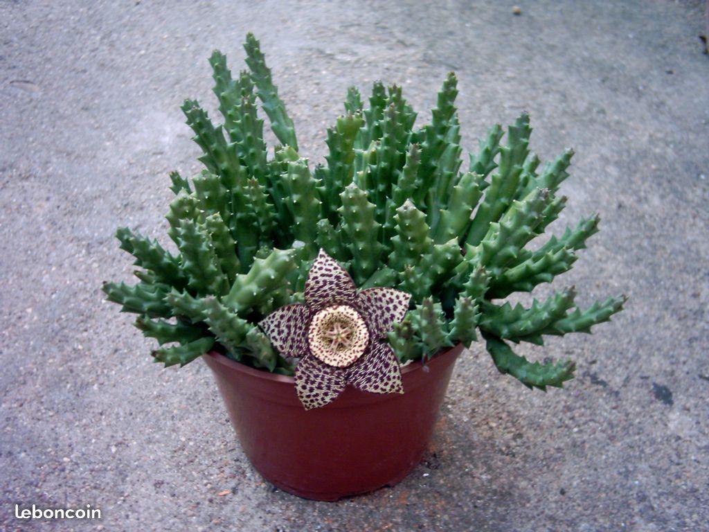 Cactus Fleur En Forme D Etoile De Mer Avec Images Cactus