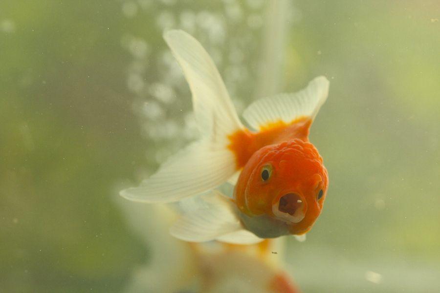 Goldfish  by Denis Ananiadis, via 500px