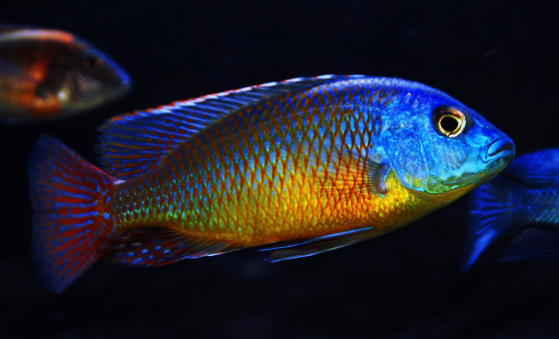 Protomelas Taeniolatus Red Empress Cichlid Protomelas Taeniolatus Red Super Red Empress Cichlid Cichlids African Cichlids Cichlid Aquarium