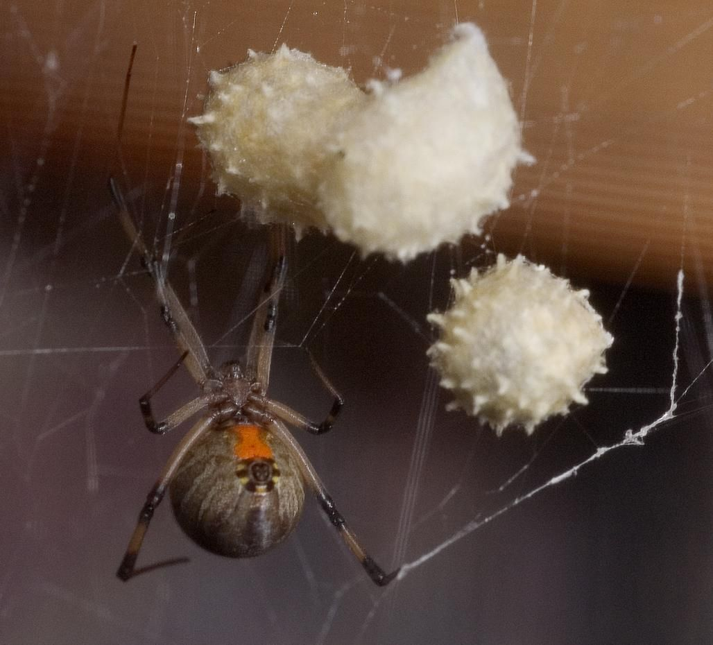The World S Most Dangerous Spiders Warning Graphic Images Dangerous Spiders Widow Spider Black Widow Spider