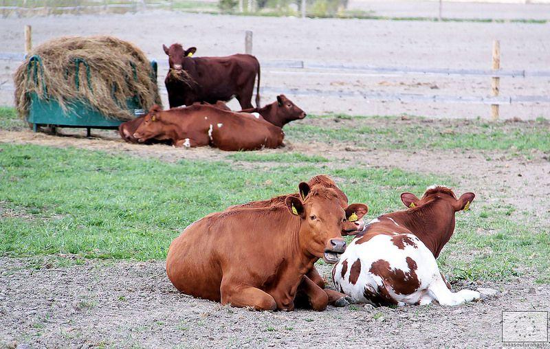 Lehmät Laitumelle -tapahtuma Ilmajoen koulutilalla © Marjut Hakkola, 2014