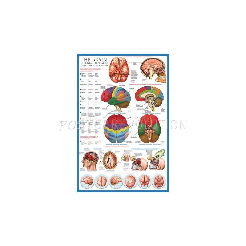 Brain Educational Chart Poster - 24x36 Homeschool