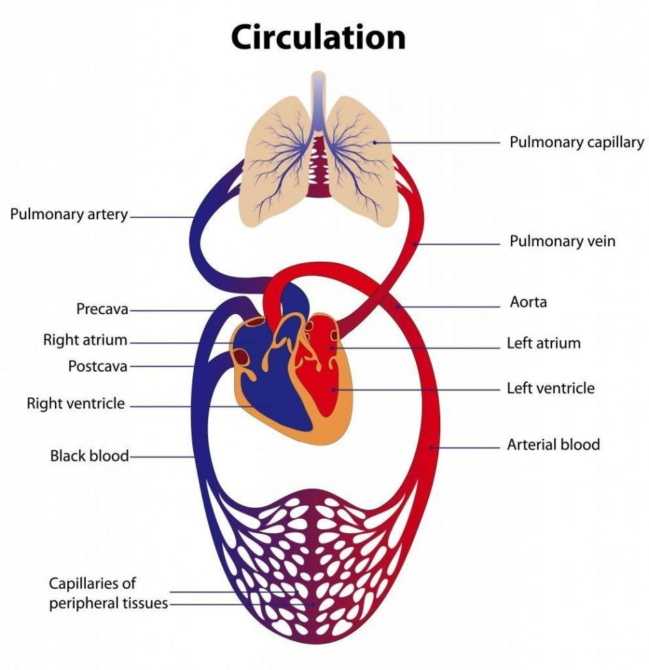 circulatory system. circulatory system diagram with labels ...
