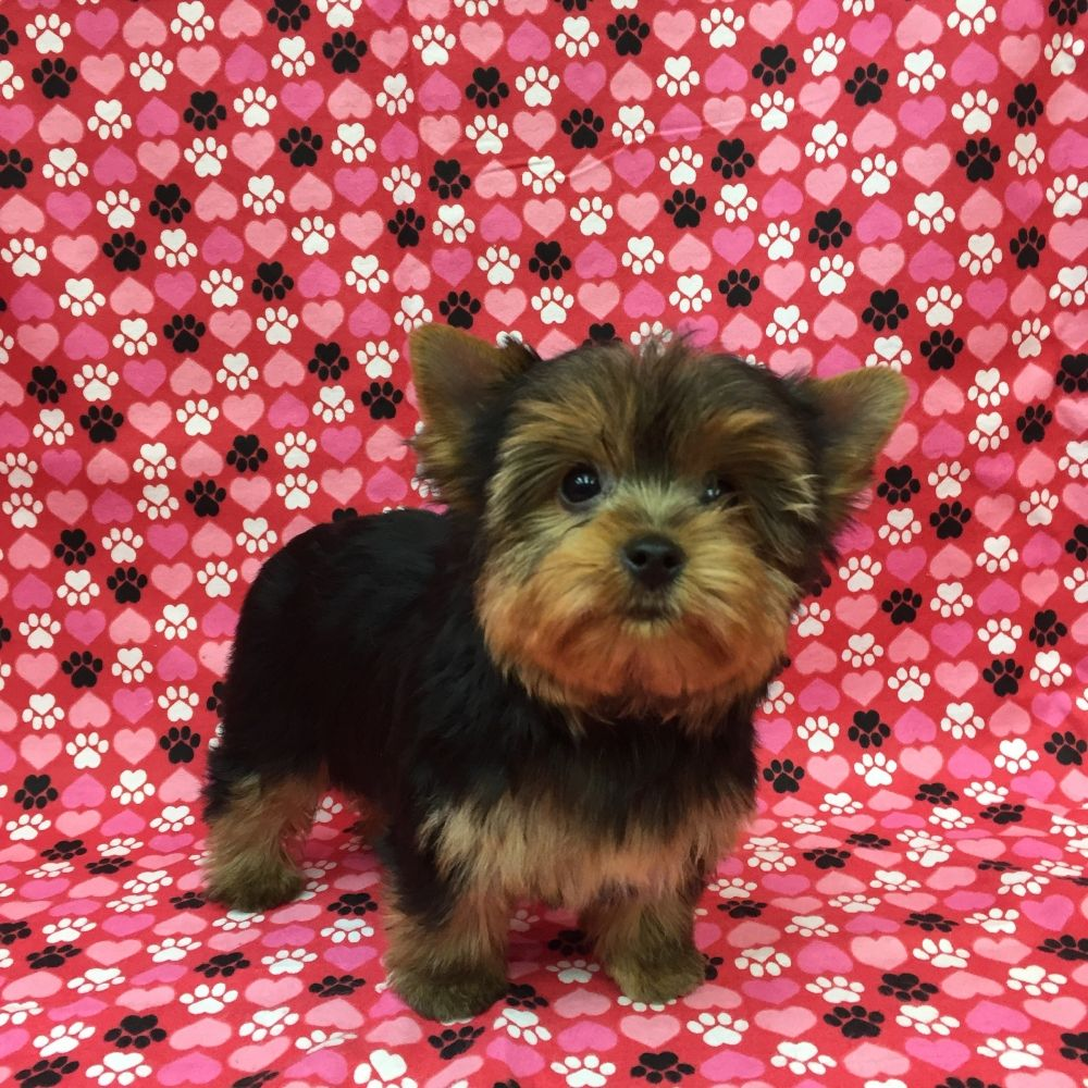 Puppies For Sale In Nj Puppies Yorkie Puppies For Sale