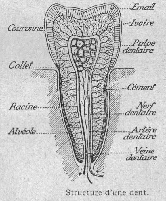 Dessins anatomie physiologie image 101 structure - Dessin de dent ...