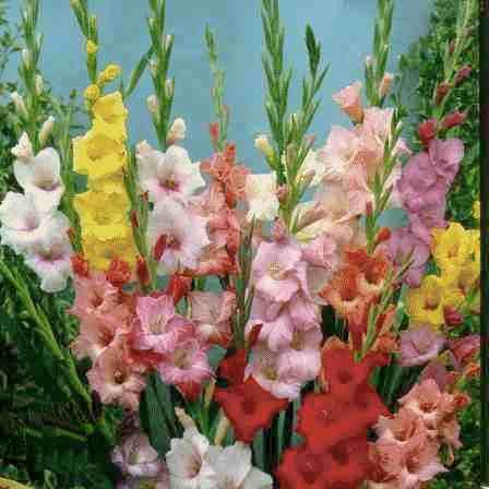 Love Gladiolas Gladiolus Flower South African Flowers Gladiolus