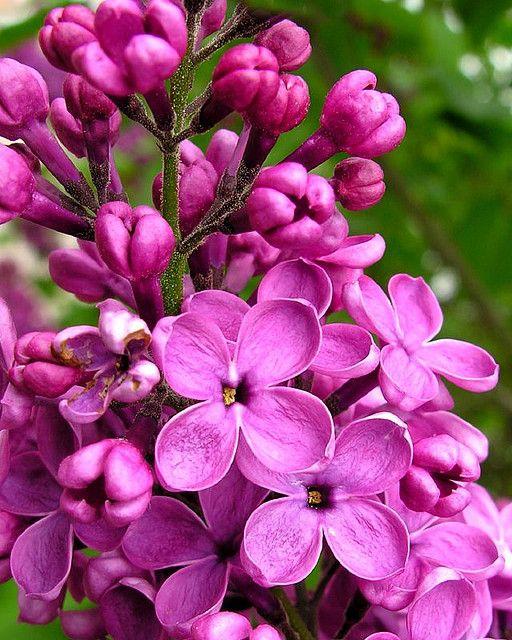 Lilac 1 Lilac Flowers Fragrant Flowers Amazing Flowers