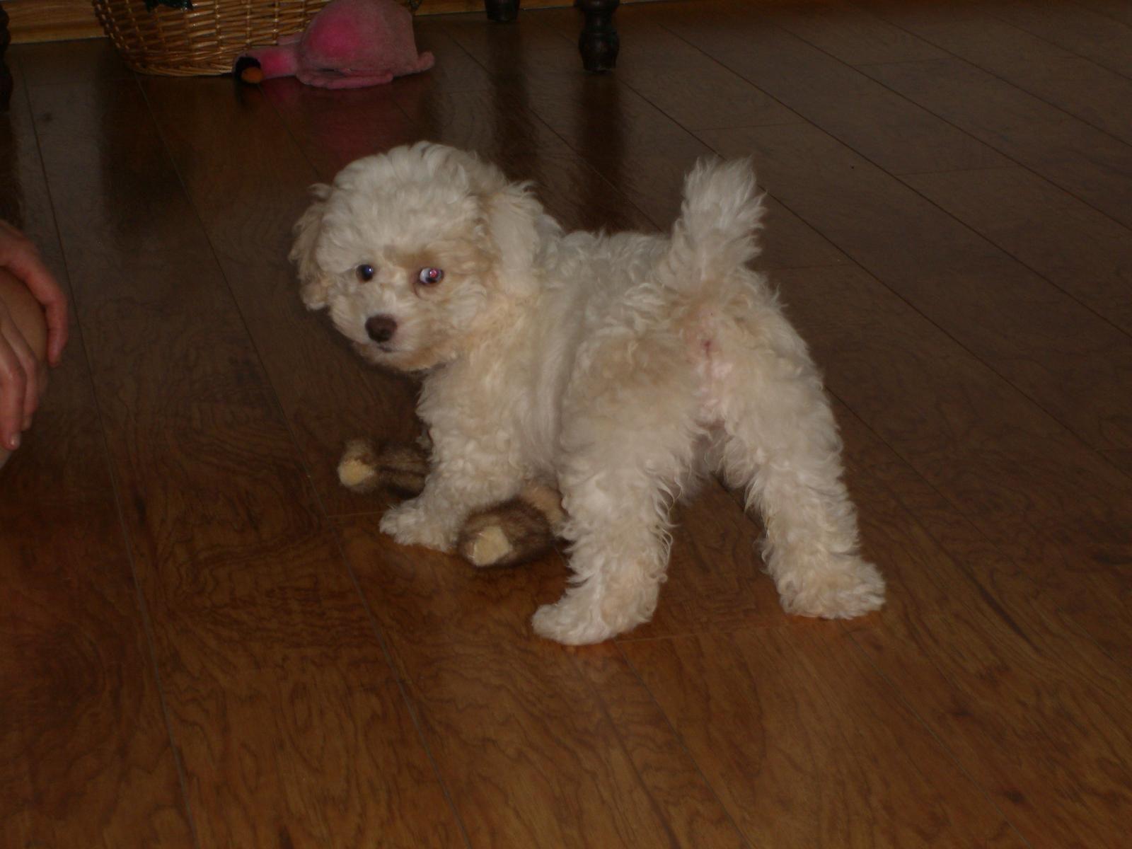 Hi Pookie Poodle Mix Puppies Bichon Frise Poodle Mix