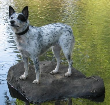 Beautiful Blue Heeler Border Collie Mix Dogstuff Bordercollie