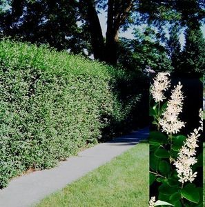 How To Plant A Natural Privacy Fence With Privet Hedge Plants