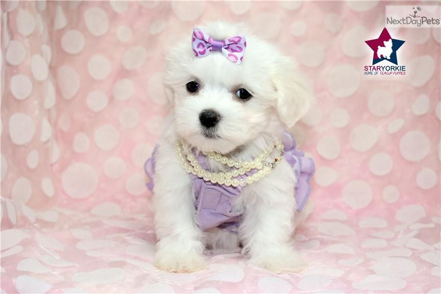 Maltese Puppy For Sale Near Los Angeles California Eed288ee 5c21 Cuccioli
