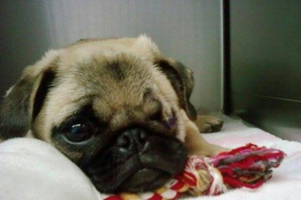 If You Don T Know Me You Might Know My Pug Spanky Charlie And