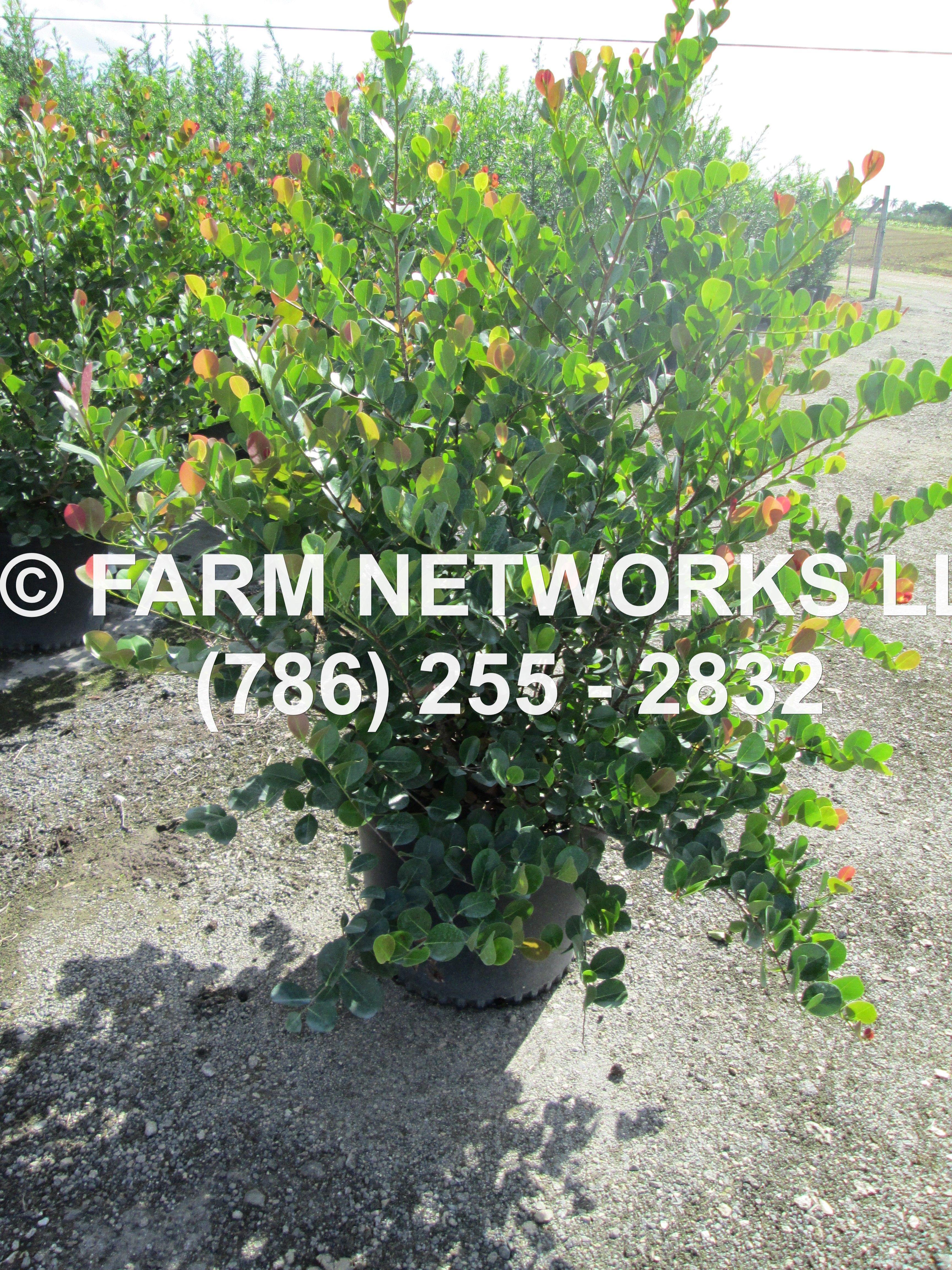 Red Tip Cocoplum Hedge Plants