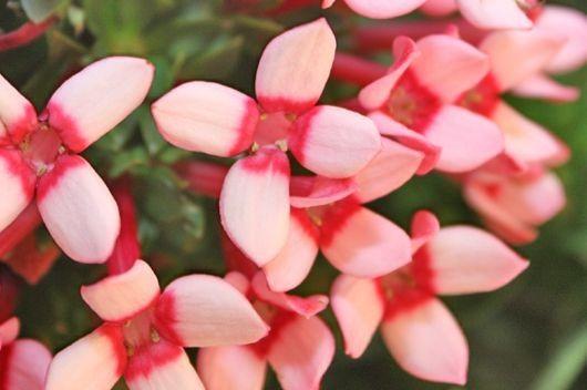 Bouvardia Small Flower Bouquet Bouvardia Flowers Natural Bouquet