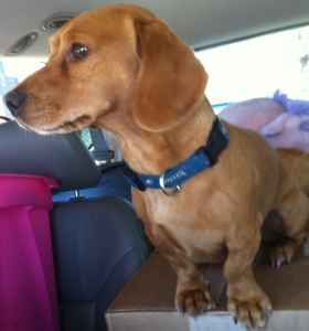 Sancho Beagle Dachshund Mix Red Brown Oakland Found